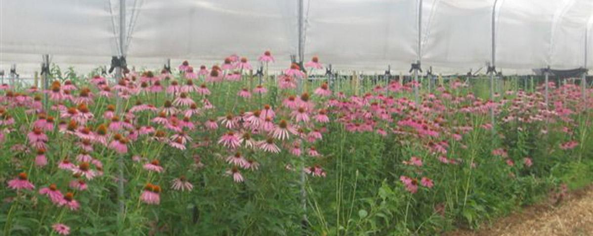 Fiori NT echinacea in serra HOME mod