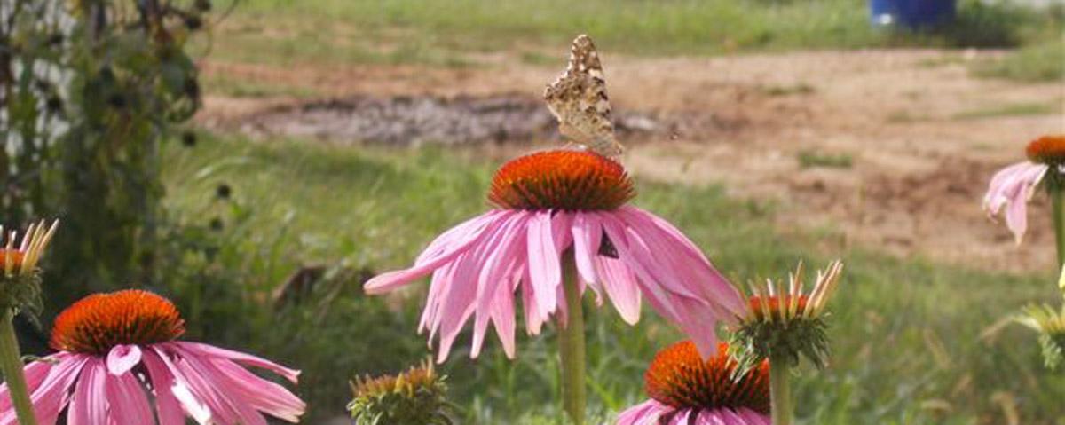 echinacea con farfalla HOME mod